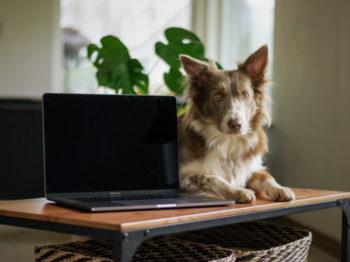 Un bureau avec un ordinateur portable et un chien allongé dessus